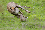 Cheetah Pursuing African Bush Hare Photographic Print by  DLILLC