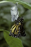 Danaus Plexippus (Monarch Butterfly) - Emerged from Pupa Photographic Print by Paul Starosta