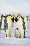 Famille de pingouins Reproduction photographique par  DLILLC