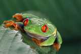 Red-Eyed Tree Frog Photographic Print by  DLILLC