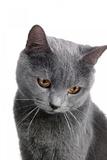 Chartreux Cat Photographic Print by Fabio Petroni