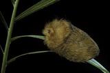 Flannel Moth Caterpillar or Puss Caterpillar Reprodukcja zdjęcia autor Paul Starosta