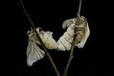 Bombyx Mori (Common Silkmoth) - Mating Reprodukcja zdjęcia autor Paul Starosta