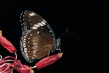 Hypolimnas Bolina (Great Eggfly, Blue Moon Butterfly) Photographic Print by Paul Starosta