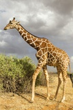Reticulated Giraffe Reproduction photographique par Mary Ann McDonald