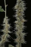 Automeris Egeus (Moth) - Caterpillars Reprodukcja zdjęcia autor Paul Starosta