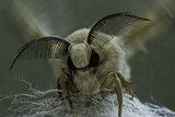 Bombyx Mori (Common Silkmoth) - Male Portrait Reprodukcja zdjęcia autor Paul Starosta