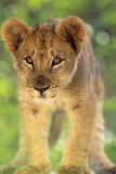 Lion Cub Staring Photographic Print by  DLILLC