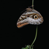 Caligo Idomeneus (Owl Butterfly) Photographic Print by Paul Starosta