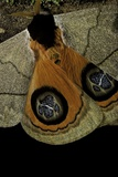 Automeris Liberia (Moth) - Wings Detail Reprodukcja zdjęcia autor Paul Starosta