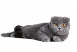 Scottish Fold Cat Photographic Print by Fabio Petroni
