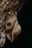 Automeris Harrisorum (Moth) Reprodukcja zdjęcia autor Paul Starosta