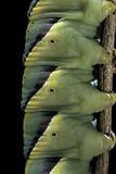 Acherontia Atropos (Death's Head Hawk Moth) - Caterpillar Detail Reprodukcja zdjęcia autor Paul Starosta