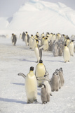 Adult Penguins Taking Care of Chicks Photographic Print by  DLILLC