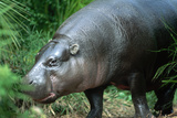 Pygmy Hippopotamus, Melbourne's Zoological Park Photographic Print by Paul Souders