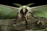 Actias Selene (Indian Moon Moth, Indian Luna Moth) - Portrait Reprodukcja zdjęcia autor Paul Starosta