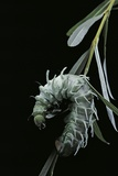 Attacus Atlas (Atlas Moth) - Caterpillar with Fleshy Spines Photographic Print by Paul Starosta