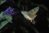 Macroglossum Stellatarum (Hummingbird Hawk-Moth) - Flying and Feeding on Flower Nectar Reprodukcja zdjęcia autor Paul Starosta