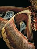 Attacus Atlas (Atlas Moth) - Wings Detail Reprodukcja zdjęcia autor Paul Starosta