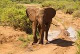 Eléphant africain Papier Photo par Mary Ann McDonald