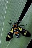 Euchromia Folletii (South African Day-Flying Moth) Reprodukcja zdjęcia autor Paul Starosta