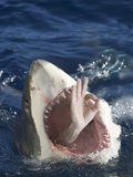 Man Making Okay Sign from Shark's Mouth Photographic Print by  DLILLC