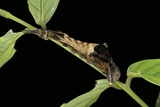 Archaeoprepona Demophon (One-Spotted Prepona, Banded King Shoemaker) - Caterpillar Photographic Print by Paul Starosta
