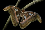 Attacus Atlas (Atlas Moth) - Female Reprodukcja zdjęcia autor Paul Starosta