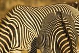 Grevy's Zebra Papier Photo par Mary Ann McDonald