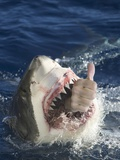 Man Making Thumbs up from Shark's Mouth Photographic Print by  DLILLC
