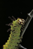 Eacles Imperialis (Imperial Moth) - Caterpillar Portrait Photographic Print by Paul Starosta