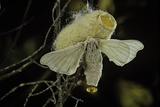 Bombyx Mori (Common Silkmoth) - Female Exposing its Scent Glands (Sacculi Laterales) to Attract Mal Photographic Print by Paul Starosta