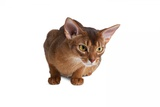 Abyssinian Cat Photographic Print by Fabio Petroni