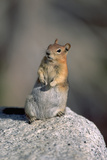 Golden-Mantled Ground Squirrel Photographic Print by Maurizio Lanini