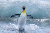 King Penguin Standing in Surf Photographic Print by  DLILLC