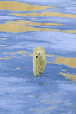 Polar Bear Walking on Pack Ice Photographic Print by  DLILLC