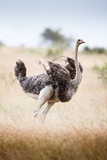 Ostrich Female Photographic Print by Richard Du Toit