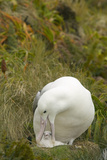 Southern Royal Albatross and Chick Photographic Print by  DLILLC