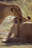 Lion Cub with Adults Photographic Print by  DLILLC