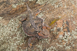 Short-Horned Lizard Hiding on Rock Photographic Print by  DLILLC