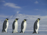 Emperor Penguins Walking Photographic Print by  DLILLC