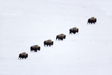 Bison Moving across Snow Photographic Print by  DLILLC