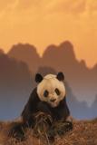 Giant Panda Eating Bamboo Photographic Print by  DLILLC