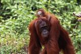 Baby Orangutan Riding Piggyback Photographic Print by  DLILLC