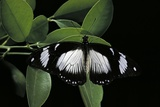 Papilio Dardanus (African Swallowtail, Mocker Swallowtail Butterfly) Photographic Print by Paul Starosta