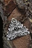 Lymantria Monacha (Black Arches Moth, Nun Moth) Reprodukcja zdjęcia autor Paul Starosta