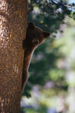 Black Bear Climbing a Tree Trunk Photographic Print by Karen Ward