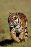Bengal Tiger on the Prowl Photographic Print by  DLILLC