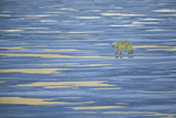 Solitary Polar Bear Walking on Pack Ice Photographic Print by  DLILLC