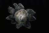 Astraeus Hygrometricus (Barometer Earthstar) Photographic Print by Paul Starosta